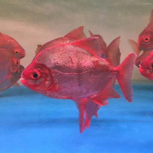 岑溪玫瑰银版鱼